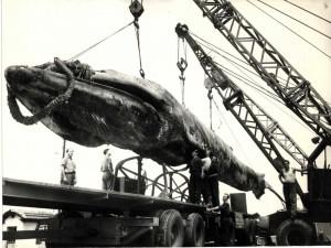 Aflati in curand cum a ajuns Balena Goliat la Reghin