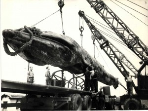 Balena Goliat avea 68 de tone greutate si 22 de metri   lungime